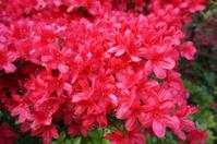 May Red Azaleas