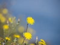 Yellow dandelions in front of a blue, defocused sea