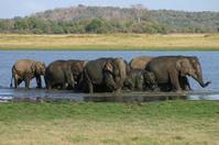 Wild Srilankan Elephants