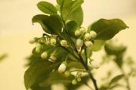 Ficus Carica - Chinese Herbal Medicine