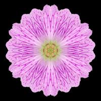 Pink Mandala Flower Kaleidoscope Isolated on Black