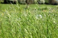 Wild grass seed in green countryside field, blowing in breeze