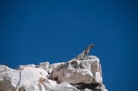 Iguana seeking out the run