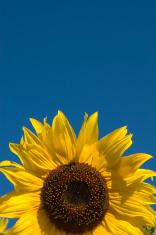 Beautiful yellow sunflower with blue sky.