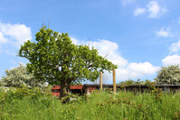 Image of horse chestnut tree (conker / buckeye) following storm
