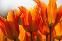 Orange Tulips close-up