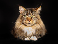 Purebred maine coon