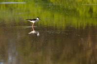 One Stilt standing in pond