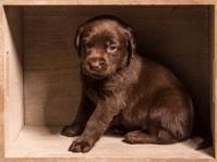 Brown Labrador Puppy posing in box