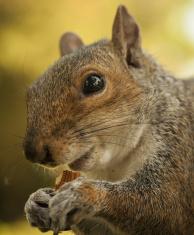 Squirrel Feeding/Staring into camera
