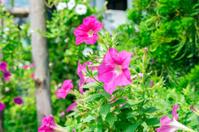 Red Petunia Flowers.