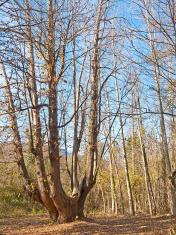 Very old chesnut tree