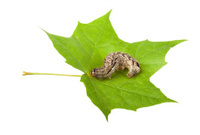 Pest and leaf