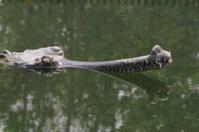 Krokodil Ganges Gavial