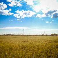 gold wheat field landscape