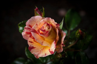 Pretty young rose