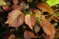 Maroon leaf of hazel