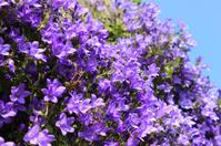 Purple flowers on creeping common harebell (Campanula portenschl