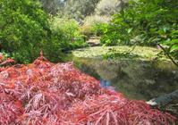 Japanese Maple near pond