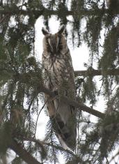 Long-eared owl on a branch.
