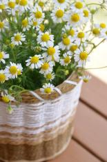 chamomile in basket