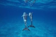 Bridled porpoise