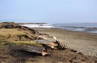 Whalebones on the Beach