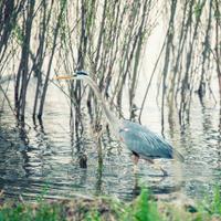 great blue heron seeking breakfast