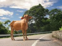 Curious caribbean cow