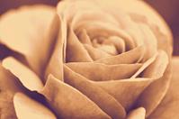 Rose macro, retro photo effect