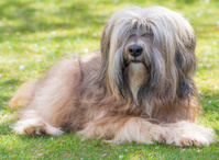 Male Tibetan Terrier Dog
