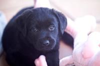 Tiny black labrador puppy