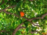 orange grove in Sicily