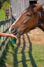 hand feeding horse