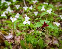 Red Trillium Alone in a Crowd of White