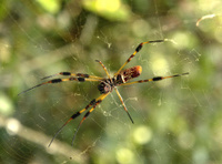 Bananna Spider (Bottom Side)