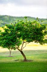 Blueberry Tree, Oahu, Hawaii