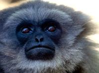 gibbon face