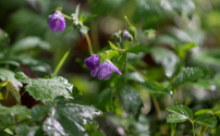 Woodland Geranium (Geranium maculatum) with morning dew