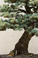 Bonsai Detail