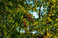 Monarch Butterflies in Tree