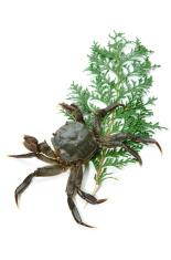 Mitten Crab-Eriocheir japonica