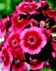 Dianthus Indian Carpet 2