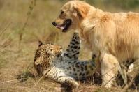 Friendly leopard and a Golden Retriever