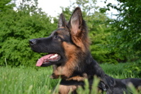 German Shepherd puppy, овчарка