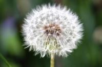 Dandelion in close up