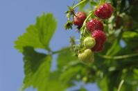 Fresh strawberry's