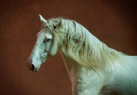 lusitano horse portrait with red wall behind