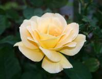 Yellow Blooming Rose