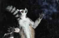 Ring-tailed lemur (Lemur Catta) behind a glass